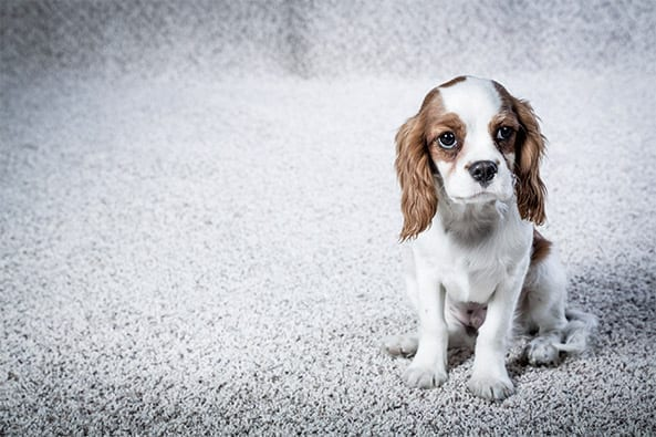 Professional Carpet Cleaning And Pet Stain Removal